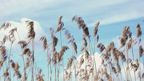 Swinging Reed Grass in the wind with blue sky stock footage