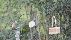 Swinging starling, Sturnus vulgaris, at a bird feeder stock footage