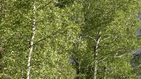 Swinging trees with rustling leaves with strong gusts of wind. Birches in summer stock video footage