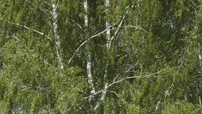 Swinging trees with rustling leaves with strong gusts of wind. Birches in summer stock footage