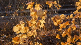 Swinging yellow maple leafs stock video footage