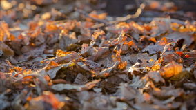 Swinging yellow oak leaf on the ground stock video