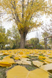 Swings in a park with yellow fallen leaves of trees Stock Images