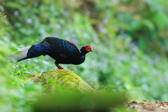 Swinhoe's Blue Pheasant stock image