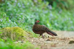 Swinhoe's Blue Pheasant Royalty Free Stock Photos