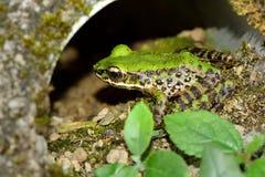 Swinhoe`s frog royalty free stock photo