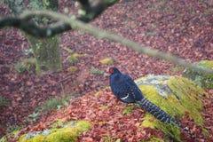 Swinhoe`s Pheasant Lophura Swinhoil in Alishan National Park,Taiwan on a wet and foggy morning Royalty Free Stock Photography