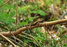Swinhonis Japalura, ящерица дождевого леса Тайваня Стоковые Фото