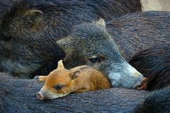 Sounder or family of cuddling wild boars and a cute piglet Stock Photo