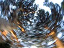 Swirl. Seems these big trees are turning around Royalty Free Stock Photo
