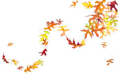 Swirl of Autumn Leaves. Swirl of falling and spinning autumn leaves isolated on white Stock Images