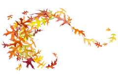 Swirl of Autumn Leaves. Swirl of autumn oak leaves isolated on white Stock Image