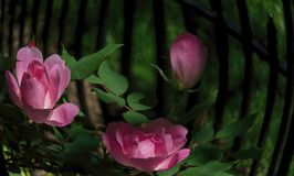 Swirl of Pink Roses. Pink knockout roses appear to swirl against an iron fence in a well-tended garden Stock Image