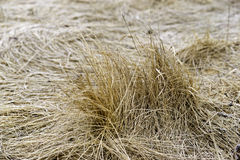 Dried Grass in Wintertime Royalty Free Stock Image