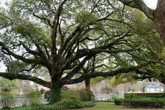 Swirling Oak. Large old oak tree in the South bayou of Louisiana stock photo