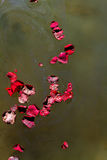 Swirling Rose Petals And Ashes. Rose petals and ashes swirl together as they float on a lake at a memorial service royalty free stock photography