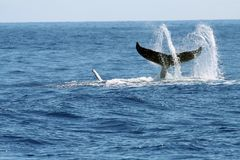 Swirling whale tail Stock Photo