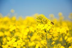 Swiss agriculture - Field of rapeseed with beautiful cloud - plant for green energy Royalty Free Stock Photos