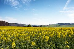 Swiss agriculture - Field of rapeseed with beautiful cloud - plant for green energy Stock Photos