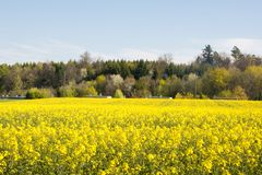 Swiss agriculture - Field of rapeseed with beautiful cloud - plant for green energy Royalty Free Stock Photography