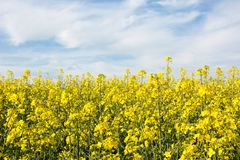 Swiss agriculture - Field of rapeseed with beautiful cloud - plant for green energy Royalty Free Stock Image