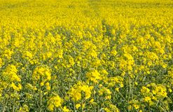 Swiss agriculture - Field of rapeseed with beautiful cloud - plant for green energy Royalty Free Stock Images