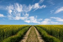 Swiss agriculture - Field of rapeseed with beautiful cloud - plant for green energy Royalty Free Stock Photo