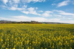 Swiss agriculture - Field of rapeseed with beautiful cloud - plant for green energy Stock Image