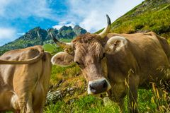 Swiss Alpine Cow Stock Photo