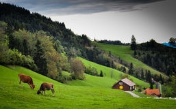 Swiss alpok. With cow and green grass Royalty Free Stock Photography