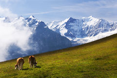 Swiss Alps above Swiss Meadows below. Cows graze on the slopes of First near Grindelwald, in the Bernese Oberland of the Swiss Alps of Switzerland. From this Royalty Free Stock Photo