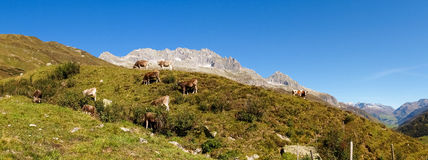 Swiss Alps, Cow on the Mountains view Stock Photos