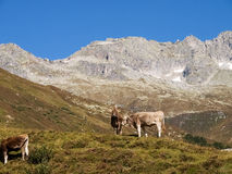 Swiss Alps, Cow on the Mountains view Stock Images