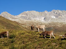 Swiss Alps, Cow on the Mountains view Stock Photo