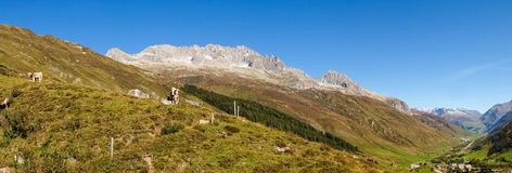 Swiss Alps, Cow on the Mountains view Royalty Free Stock Photos