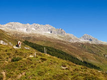 Swiss Alps, Cow on the Mountains view Royalty Free Stock Images