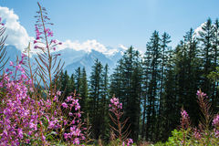 Swiss Alps flowers Stock Images