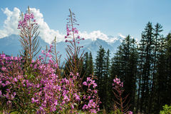 Swiss Alps flowers Royalty Free Stock Image