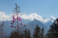 Swiss Alps flowers Stock Photo