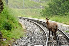 Swiss alps railroad and chamois. Meeting with a chamois on Swiss railroad Stock Photography