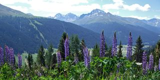 Swiss Alps in Summer. The Swiss Alps in summer with blloming lupines in the foreground. Picture taken above Davos, at about 1800 m royalty free stock photo