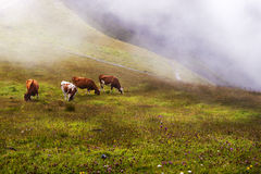 Swiss Alps, Swiss Fog, and Four Swiss Cows Stock Photo