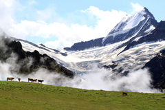 Swiss Alps: the Upper Grindelwald Glacier and cows. A sunny view upon the high snow-covered peaks of the Alps in the middle of Switzerland, seen from the Royalty Free Stock Photography