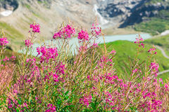 Swiss Alps view with wild pink flowers Stock Photo