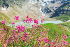 Swiss Alps with wild pink flowers Royalty Free Stock Image