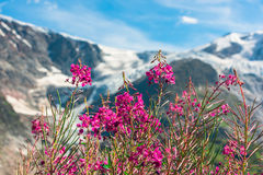Swiss Apls with wild pink flowers Stock Photography
