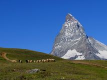 Swiss beauty, sheeps under majesty Matterhorn Stock Photography