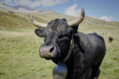 Swiss black Hérense fighting cow Stock Photos