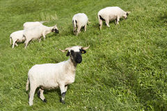 Swiss blacknose sheep Stock Images