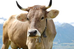 Swiss Brown Cattle 2. Picture taken in Switzerland, showing a Swiss Brown Royalty Free Stock Image